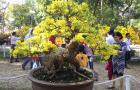 Những cây mai vàng đẹp tại hội hoa xuân tao đàn 2018 tiếp theo