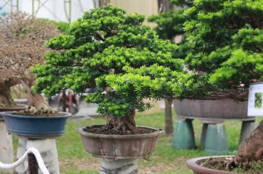 Cây Tùng loài cây quý mang sinh khí của người quân tử