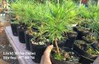 Thông đen Nhật Bản Black pine