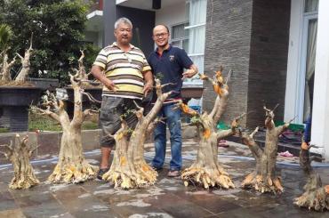Cách cắt cây phôi Mai chiếu thủy của Malaysia