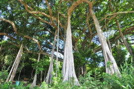 Cây đa nghìn năm tuổi trên núi Sơn Trà