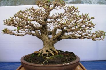 Cận cảnh những cây Bonsai đẹp tại triển lãm Yên Tử 2014