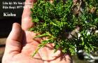 Kishu bonsai