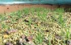 ươm hạt thông đen Mikawa Nhật Bản