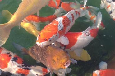 Cá Koi Nhật theo ngũ hành Phong thủy