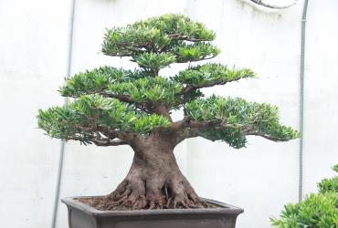 Tùng La Hán - Podocarpus macrophyllus